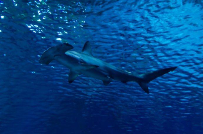 Silhouette of hammerhead shark in the water
