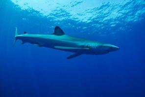 Blue Shark (Prionace glauca), Pico island , Azores.